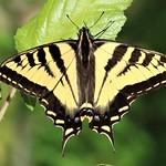 Papilio rutulus Western Tiger Swallowtail thumbnail