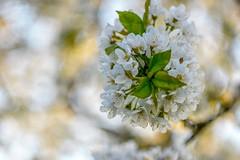 Cherry blossoms. (agnieszka.a.morawska) Tags: czereśnia wiosna macro dof bokeh helios44m helios beyondbokeh bokehlicious bkhq tree spring garden cherryblossoms cherry