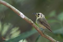 Golden-crowned Spadebill (fernaabs) Tags: goldencrowned spadebill platyrinchus coronatus piquichato coronirrufo passeriformes tyrannidae aves fernaabs burgalin avesdecostarica