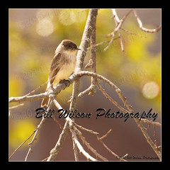 eastern phoebe (wildlifephotonj) Tags: easternphoebe easternphoebes phoebe phoebes wildlifephotographynj naturephotographynj wildlifephotography wildlife nature naturephotography wildlifephotos naturephotos natureprints birds bird