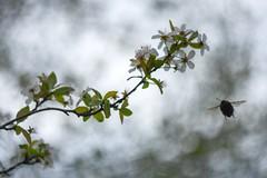 Spring tree and bumblebee. (agnieszka.a.morawska) Tags: oldlens helios44m helios bkhq beyondbokeh bokehlicious bokeh insect flowers blossoms bumblebee spring
