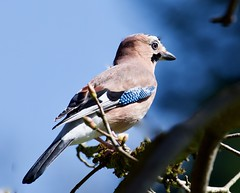 Jay - Taken at The Old Tram Road between Hirwaun and Penderyn, RCT, South Wales. (Ian J Hicks) Tags:
