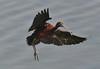 Glossy Ibis (MoGoutz) Tags: purple ibis glossy plegadis falcinellus axios delta