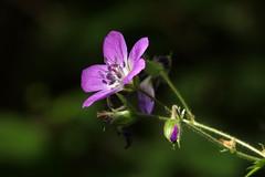 * (Jaan Keinaste) Tags: olympussh1 eesti estonia loodus nature õis blossom lillaõis