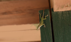 You Can Run, But You Can't Hide (Anthony Mark Images) Tags: anole lizard reptiles animals camouflage blending greenpaint wood roof jamaica westindies caribbean cute
