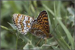 Papallones, _DSC1755_NKD500_Osona (Francesc //*//) Tags: mariposas insecte insecto insect butterfly papillon natura naturaleza nature macro macrofotografia osona
