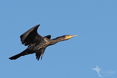 Great Cormorant (VS Images) Tags: greatcormorant cormorant phalacrocoraxcarbo phalacrocoracidae waterbirds birds bird birding bif birdsinflight flight feathers wildlife wildlifephotography animals avian australianbirds australianwildlife australia nsw nature ngc naturephotography vassmilevski vsimages olympus olympusau getolympus m43 omd