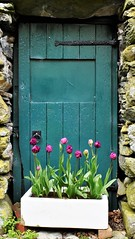 Green Door, Keswick (fromkin) Tags: stone walls tulips flower box iron hinges