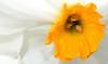 daffodil center, Boulevard Baptist Church (Martin LaBar) Tags: southcarolina andersoncounty boulevardbaptistchurch daffodil narcissus flower interior macro anthers pollen tepals corona amaryllidaceae