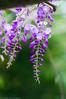 _DSC1938 (Yiing Juii) Tags: 2018 wisteria 紫藤
