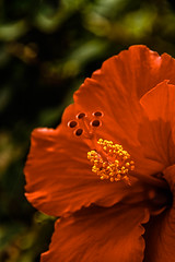 The Hibiscus Macro (http://fineartamerica.com/profiles/robert-bales.ht) Tags: arizona fanart fineart foothills haybales hibiscus people photo photouploads places plants states flowers plant red hibiscusdisambiguation mallow warmtemperate subtropical sorrel flordejamaica rosemallow perennial herbaceous shrubs tree trumpetshaped white pink orange yellow beautiful sensational spectacular awesome magnificent peaceful robertbales magical colorful canonshooter wow stupendous tranquil butterflies bees hummingbirds petal nature flower bloom floral blossom iphone greetingcards macro