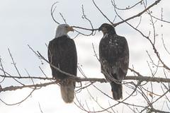 Juvenile and adult Bald Eagle together - shooting into the sun - ugh