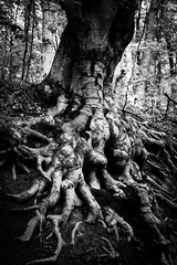 Old Tree Roots (WhiteShipDesign) Tags: white blackandwhite forest tree light root old nature environment natural big ground trunk growth wood huge large magical fantasy woods texture black roots