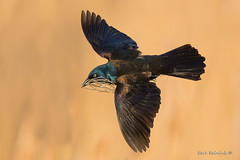 Quite the mouthfull (Earl Reinink) Tags: bird animal wildlife nature spring marsh blullrush nesting singing blackbird commongrackle earl reinink earlreinink flight flying morning rzaaattdza