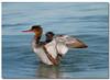 Red-breasted Merganser (Betty Vlasiu) Tags: redbreasted merganser female bird nature wildlife florida