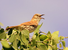 Moqueur roux (Marie-Helene Levesque) Tags: oiseau abitibi valdor eastsullivan east moqueur moqueurroux mariehélène mariehelene