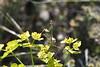 Empusa pennata de vuelta a la euforbia (esta_ahi) Tags: fontrubí euphorbia euphorbiaceae flora plantas silvestres empusapennata empusa empusidae mantodea mantispalo insectos fauna ninfa penedès barcelona spain españa испания