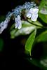 紫陽花 #5ーHydrangea #5 (kurumaebi) Tags: yamaguchi 秋穂 山口市 nikon d750 nature マクロ macro 花 紫陽花 アジサイ hydrangea flower