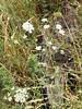 Panul ? (L'herbier en photos) Tags: ombellifères apiaceae umbelliferae apiacées apium panul bertero dc reiche valparaiso chili valparaíso chile laguna verde nt1201