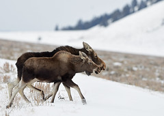 Mom's Guidance - A Moose Cow and Calf Walking Side by Side - 6175b (teagden) Tags: moose cow calf moosecalf cowmoose cowandcalf jenniferhall jenhall jenhallphotography jenhallwildlifephotography wildlifephotography wildlife nature naturephotography wyoming wyomingwildlife photography wild nikon snow sagebrush winterscene winterphotography sidebyside
