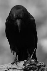 Wildcat B&W Raven downcast cc-9380 (alankrakauer) Tags: bw blackandwhite raven contemplation downcast bird wildlife animal urbananimal urbanwildlife ebrpd wildcat corvid