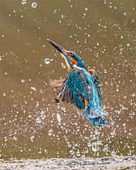 Kingfisher (Andy Morffew) Tags: kingfisher nofish empty emerging leavingwater andymorffew morffew explored inexplore
