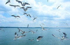 A Flock of Seagulls (Stanley Zimny (Thank You for 30 Million views)) Tags: cityisland bronx ny birds water seagulls fly clouds sky
