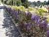 Easter Sunday (Marlis1) Tags: tortosacataluñaespaña panasonictz91 marlis1 wisteriasinensis wisteria glizine blauregen flowers mediterraneangardens