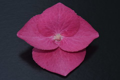 Hydrangea Flower (rq uk) Tags: rquk nikon d750 linesymmetry macromonday nikond750 afsvrmicronikkor105mmf28gifed hydrangea flower pink macro micro