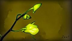 Orquídea em Botão (Jmal,) Tags: orquídea em botão orquídeaembotão