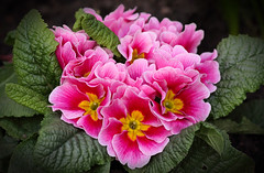 Spring Power (AnyMotion) Tags: primrose primel primula flowers blossom blüte plant pflanze 2018 anymotion nature natur frankfurt garden garten 7d2 canoneos7dmarkii colours colors farben pink rosa yellow gelb spring frühling primavera printemps