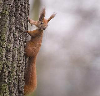 Red squirrel [explored]