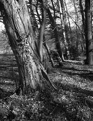 superikonta 530 a (salparadise666) Tags: zeiss ikon super ikonta 645 nils volkmer vintage folding analogue film camera mediu format landscape nature bw black white trees monochrome hannover region niedersachsen germany north german plains lowlands