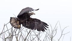 Sub-Adult BE Leaping into flight (jonathan.pratt14) Tags: juvenilebaldeagle haliaeetusleucocephalus birdofprey baldeagle ridgefieldnationalwildliferefuge washingtonstate wildlifephotography wetland marshwildlife