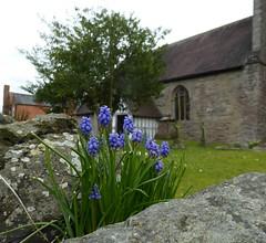 Grape Hyacinths. (jenichesney57) Tags: