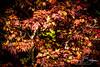 Foliage-932169 (jbalfus) Tags: foliage japanesemaple leaves sonya9mirrorless sonyalpha sonyilce9 fullframe sigma150600mmlens sigmacontemporary sigmaadapter