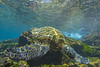 turtle2Mar28-18 (divindk) Tags: cheloniamydas hawaii hawaiianislands honokeana honu maui napili napilipointresort underwater diverdoug endangeredspecies greenseaturtle marine ocean reef sea seaturtle turtle underwaterphotography