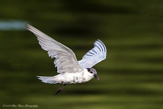 Whiskered Tern ©