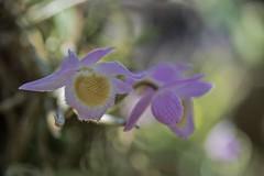Dendrobium loddigesii (ACEZandEIGHTZ) Tags: orchid nikon d3200 closeup bokeh species dendrobium loddigesii