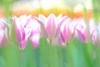 Tulip / チューリップ (Hideo N) Tags: tulip nature spring チューリップ 春 花 fantasticflower
