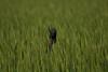 棕背伯勞展現高超獵食技巧於麥田獵食 (安頭(金門)) Tags: a7riii a7r3 sonyfe100400mmf4556 fe100400mmf4556gmoss sony sony100400mmgm 金門 鳥 水 海 海洋 棕背伯勞