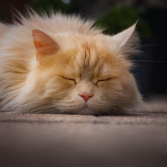 And sometimes he just sleeps (FocusPocus Photography) Tags: linus katze kater cat chat gato tier animal haustier pet sschläft asleep müde tired