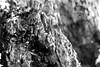 Fungi2BW3 (allnights1) Tags: fungi monochrome texture woodtexture toadstool mushroom