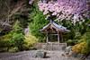 Cherry blossoms at bell shrine (Repp1) Tags: bc canada flora japanese ubc vancouver asiancentre cherryblossoms fleursdecerisier shrine pavilion