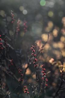 Im Wilden Moor bei Schwabstedt - Blüte des weiblichen Gagelstrauchs (Myrica gale) (48)