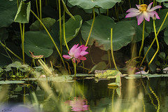 RIFLESSI NELLA PALUDE    ----    REFLECTIONS IN THE SWAMPS (Ezio Donati is ) Tags: natura nature acqua water paludi swamps pericolo danger fiori flowers verdw green macro africa costadavorio yamoussoukro areadeslacs