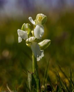 Green-winged Orchid (Anacamptis morio var. alba)