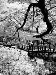 Cherry Blossom 櫻花 (MelindaChan ^..^) Tags: hadong skorea 河東 櫻花 櫻 花 chanmelmel mel melinda melindachan bloom spring field rural countrysdie tree branch travel