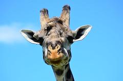 Масайский жираф, Giraffa camelopardalis tippelskirchi, Masai Giraffe (Oleg Nomad) Tags: масайскийжираф giraffacamelopardalistippelskirchi masaigiraffe африка кения сафари животные млекопитающие копытные саванна africa kenya safari mammals travel animals savanna