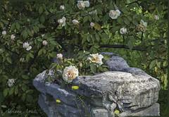 21 aprile 2018. Roma nel giorno del suo compleanno: 2771 anni.  Nel Roseto Comunale un angolo ricostruito con le rose coltivate nella Roma antica (adrianaaprati) Tags: rome ancientrome 2771 21april753bc years antiquities april spring roses ancientroses garden municipalrosegarden 753ac